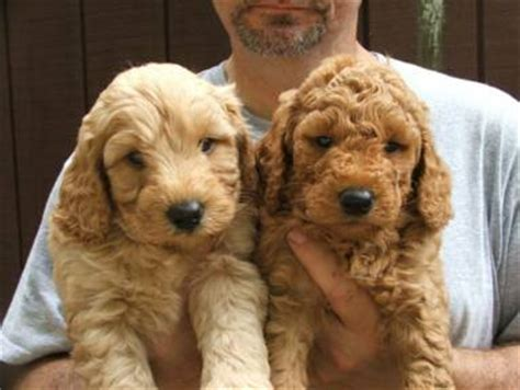 golden labradoodle puppy countryside doodles labradoodle goldendoodle breeders puppies for sale