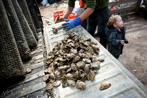New York Times Tuesday Science Section by New York Times Travel Section Clip Wellfleet Oystering