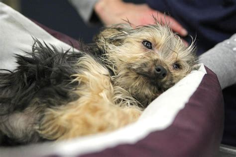 yorkie animal rescue investigating after with broken legs abandoned at side shelter