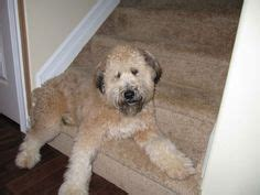 that looks like a puppy forever 1000 images about soft coated wheaten terriers on wheaten terrier puppys