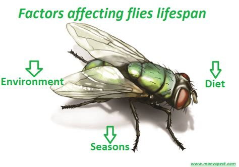 fruit fly lifespan how does a fly live factors affecting flies