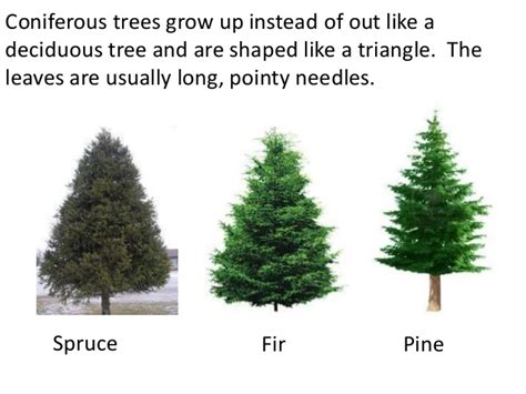 trees deciduous and coniferous teach