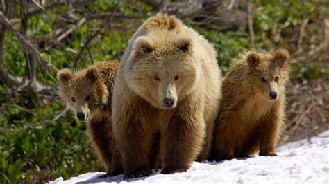 brown bears   snow wallpaper hd animals wallpapers