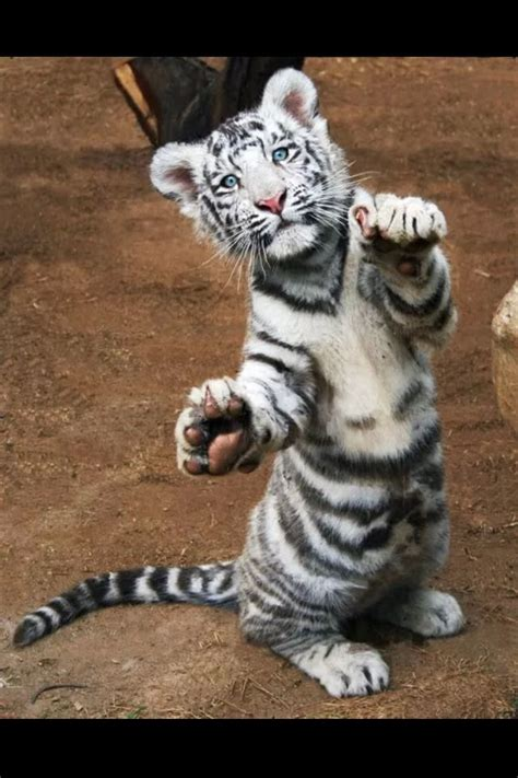 baby white tiger cubs 25 best ideas about baby tigers on tiger cubs