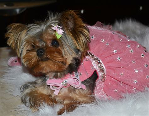 baby doll yorkies baby doll yorkies calgary teacup baby doll yorkies tiny baby doll