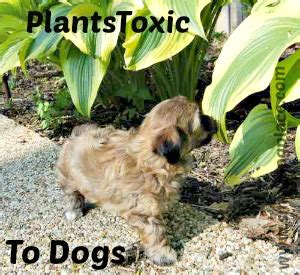 what plants are poisonous to dogs plants toxic to dogs