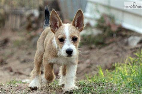 portuguese podengo puppies pin portuguese podengo dogs puppies for sale on