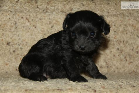black yorkie poo images black yorkie poo puppy all puppies pictures and wallpapers breeds picture