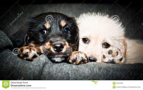 sad puppy love two sad puppies royalty free stock photography image