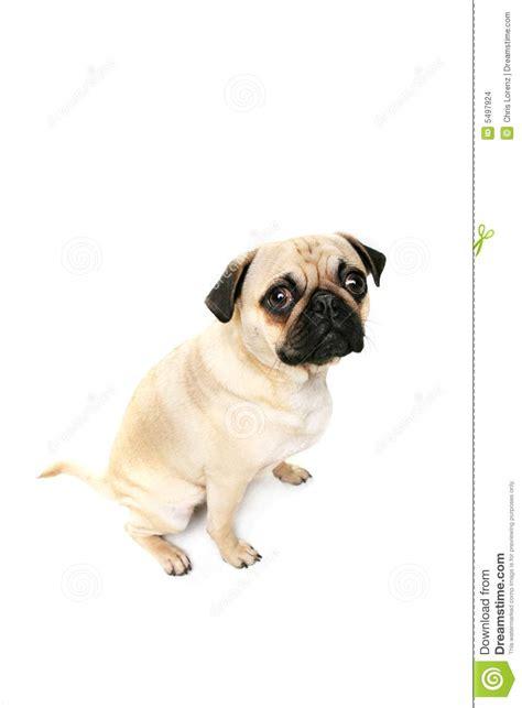 guilty pug guilty pug stock photo image of carlin mammal alert 5497924