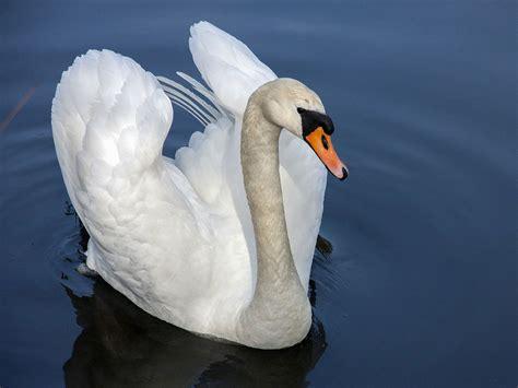 Swan Symbolism The Black Swan Wild Gratitude Black Swan Meaning