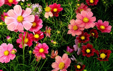 photos of flowers pink cosmos flowers wallpapers hd wallpapers