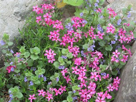 low growing shrubs with flowers identification what is this low growing plant with pink