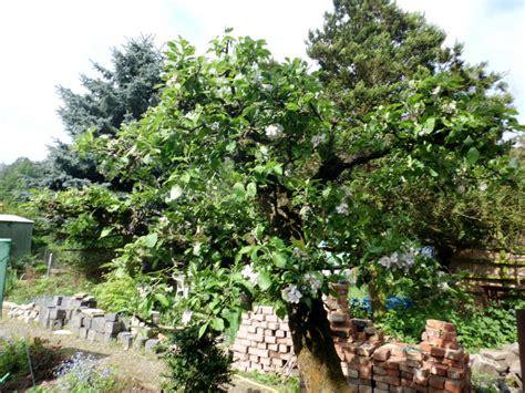 apfelbaum garten apfelbaum 187 gartenbob de der gartenratgeber