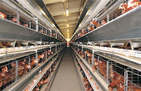 china  layer   rearing houses equipped  big dutchman egg production big dutchman