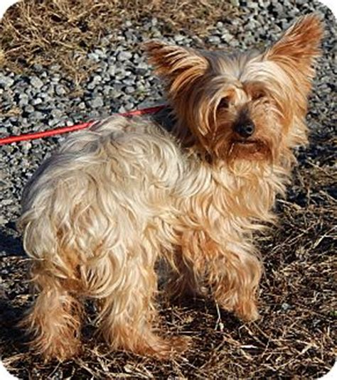 6 lb yorkie sussex nj yorkie terrier meet scooter 6 lb great family pet a for