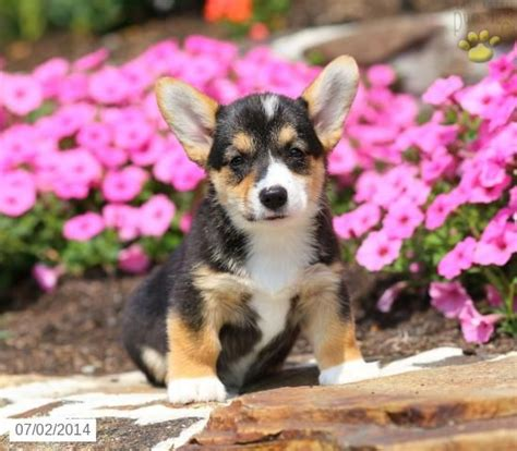 corgi puppies for sale pa 17 best images about corgi on gilbert o sullivan and troy