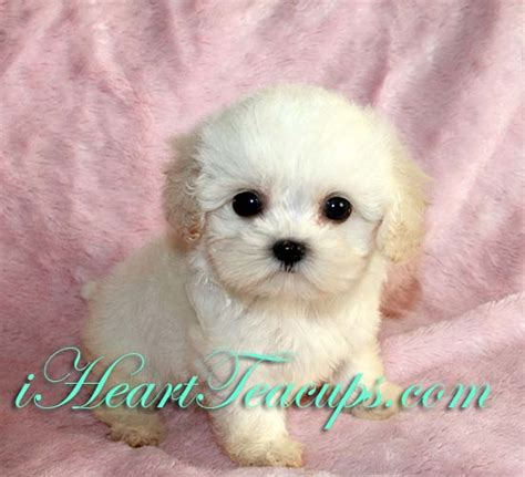 teacup maltipoo puppies teacup maltipoo puppies for sale