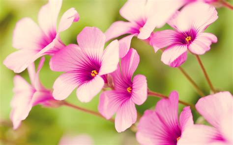 pretty plant free wallpaper of flowers pretty purple verbena in the