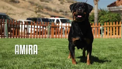 difference between german and american rottweiler professional rottweiler breeder explains difference between german and american