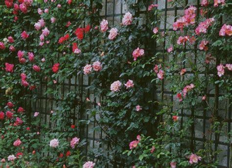 pot de fleur exterieur 1250 comment planter un rosier au pied d un m 251 r
