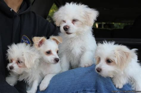 maltese pomeranian mix price maltese shih tzu mix price 250 for sale in union city california best pets