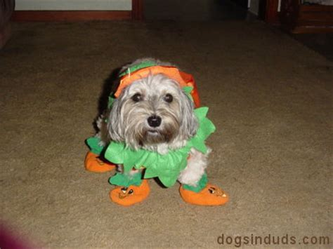 yorkie poo costumes terrier dogs in duds for dogs who like to dress up