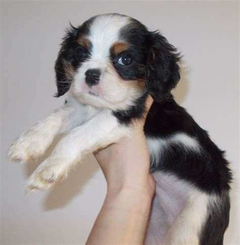king charles puppy cavalier king charles spaniel puppies ready july bromsgrove worcestershire pets4homes