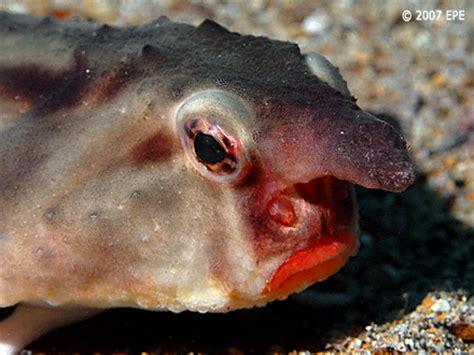 Harga Lipstick Chanel Coco Stylo lipped batfish facts the of