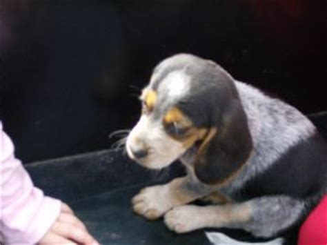 beagle puppies for sale in louisiana beagle puppies in louisiana