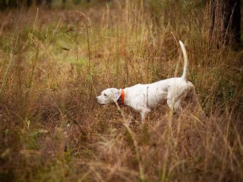 how to my to hunt quail