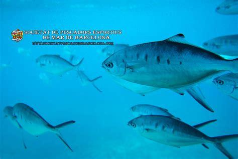trachinotus ovatus la palometa blanca o palometa trachinotus ovatus