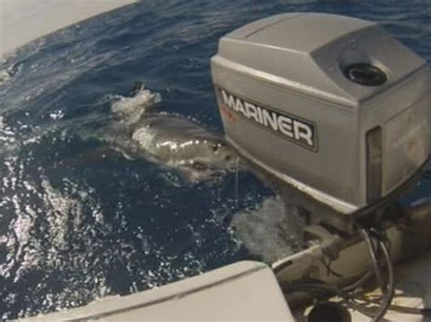 great white attacks fishing boat great white shark takes on fishing boat near pottsville