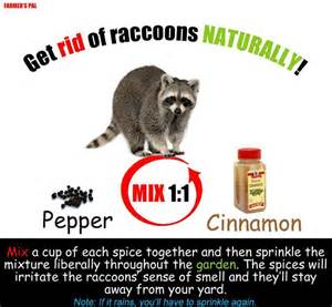 how to get rid of raccoons in my backyard get rid of raccoons gardening canning