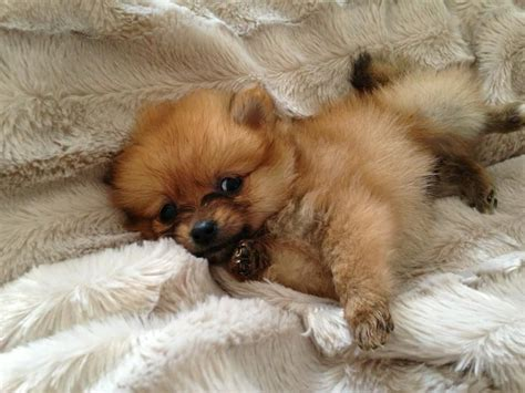 tiny pomeranian puppies tiny pomeranian puppy bootle merseyside pets4homes