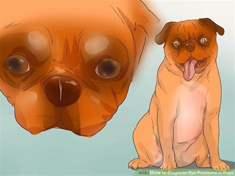 pug puppy eye problems how to diagnose eye problems in pugs 9 steps with pictures