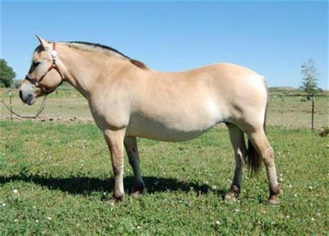fjord accent accent ranch norwegian fjord mare for sale