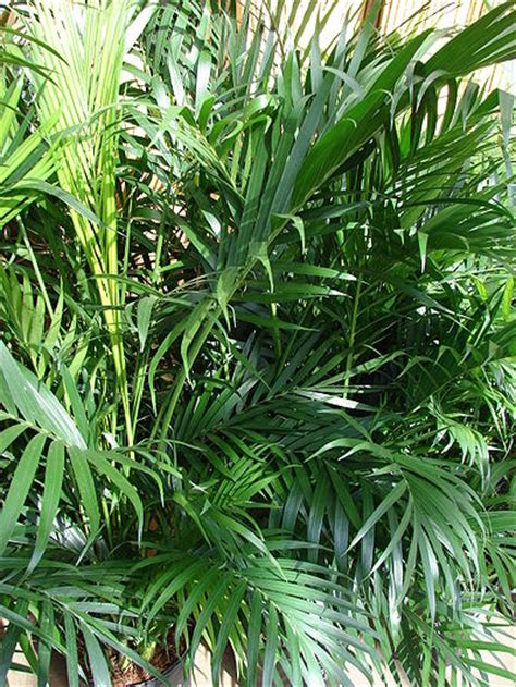 cateracterum palm chamaedorea cataractarum palmpedia palm grower s guide