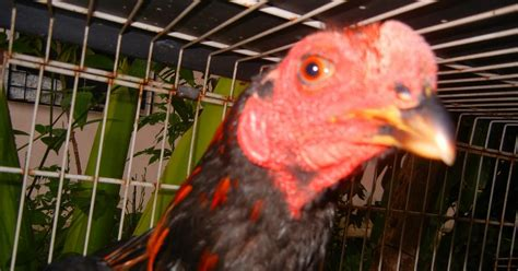 Bibit Ayam Hutan ayam kinabalu ganoi black area