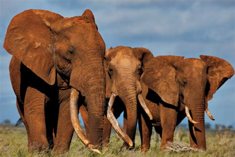 National Geographic Bloody Ivory jessicarulestheuniverse killing elephants the santo ni 241 o connection