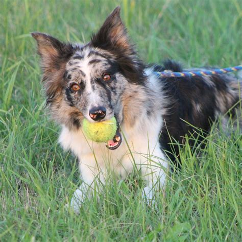 border collie puppies mn border collies rescue of minnesota matches families with border breeds picture