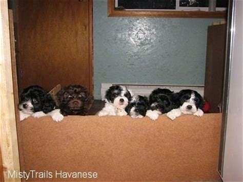 raising puppies week by week whelping and raising puppies puppies 6 weeks 7 weeks