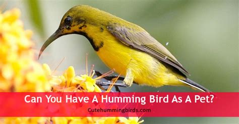 best 28 can hummingbirds be kept as pets how to feed