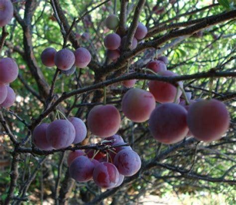 Pupuk Bunga Jeruk benih tanaman buah benih buah