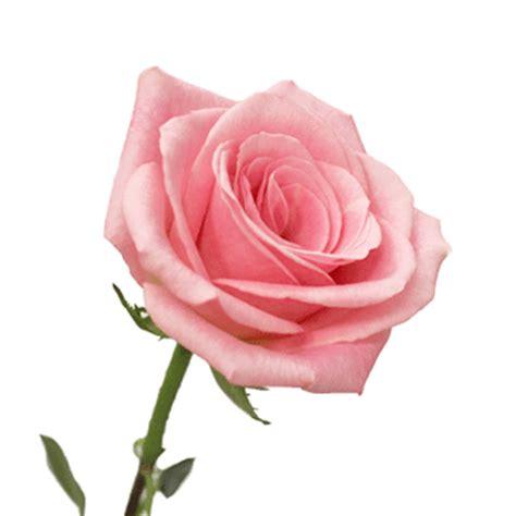 Light Pink Roshes by Light Orlando Pink