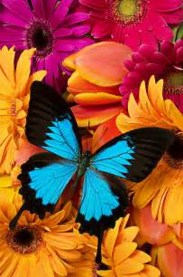 colors of flowers blue butterfly on brightly colored flowers by garry