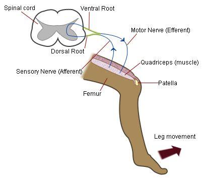 diagram of knee reflex quadriceps femoris andreacollo