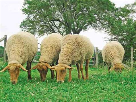 rising sheep raising sheep on your farm farm and home capper s farmer