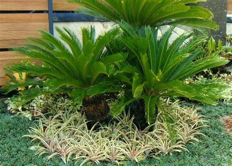 Tanaman Sikas tanaman sikas mawar jambe tanaman tahan panas gardens