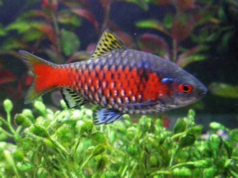 rosy barb puntius conchonius underwater world pinterest
